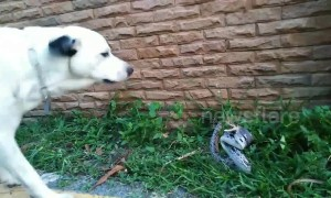 Snake lunges at dog after intense stand-off in Thailand