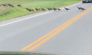 Turkeys Hold Up Traffic