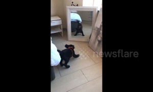 Adorable black Labrador puppy wants to fight himself in the mirror