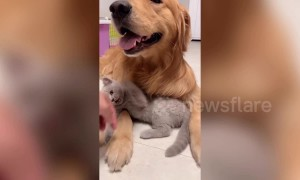 Meet the golden retriever and kitten that are best friends in China