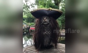 Captain Jack Purr-ow: Most majestic pirate ever is this cat in a wig