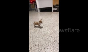 Brave chihuahua puppy barks at bigger dog