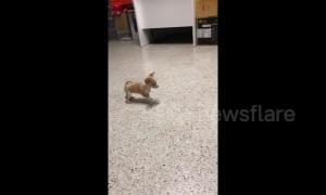 Brave chihuahua puppy barks at bigger dog