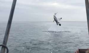 Shark does epic flip after breaching off South Africa's coast