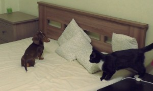 Energized puppy goes up against cat for favorite napping spot