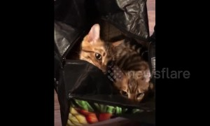 The cat is in the bag! UK kittens love going for a swing in shopping bags