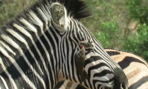 Wildlife cleaning service! Zebra allows bird to clean her eyelashes