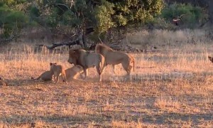 Symphony of the jungle! Male lion's call triggers chorus of roars