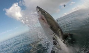 South African great whites flee as killer whales move in