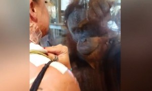 Curious Orangutan Asks Woman To Remove Bandages And Show Her Wound