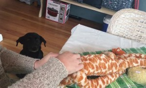 Labrador sits patiently while owner fixes favorite toy