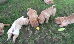 Curious puppies don't know how to react to mysterious lemon
