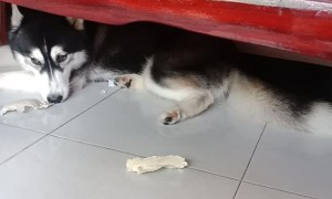 Adorable Husky Hides from Annoyed Human