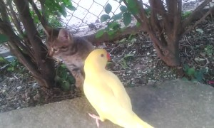 Curious parrot attempts to befriend cautious kitten