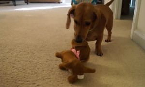 Dachshund puppy adorably reacts after meeting toy look-alike