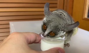 Galago Gulps Down Some Milk