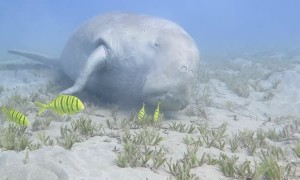Dugong Sleeps on the Sea Bed