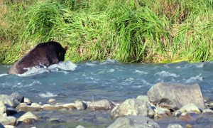 Brown Bear Snags Salmon