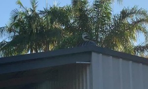 Kookaburra Goes for a Spin