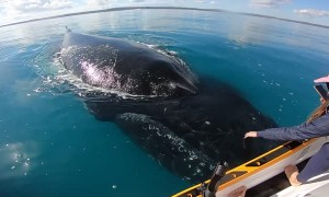 Friendly Whales Play with Stationary Jet Ski