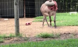 Donkey Plays with Popped Toy