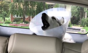 Stubborn husky howls in protest while recovering from anesthesia
