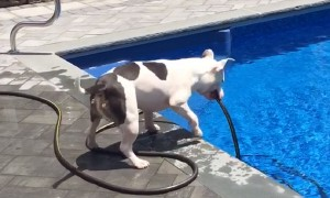 Genius dog pulls hose out of pool to get a drink