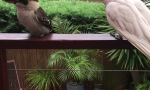 Kookaburra Ignores Noisy Neighbor