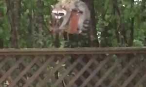 Raccoon Endures Hurricane Winds For Food