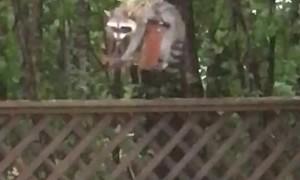 Raccoon Endures Hurricane Winds For Food