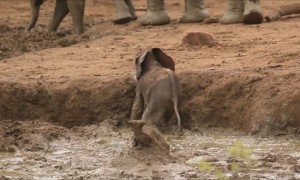 Elephants suddenly rush over to help baby stuck in bank