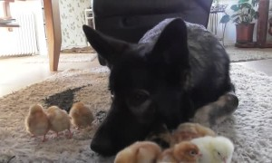 Gentle German Shepherd looks over and cuddles baby chicks