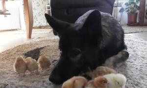 Gentle German Shepherd looks over and cuddles baby chicks