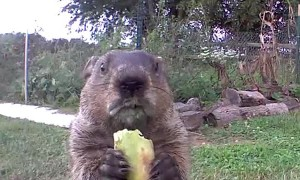 Groundhog Stops by for Breakfast