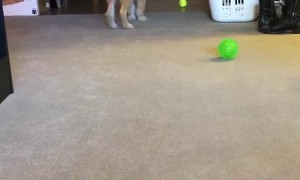 Precious Pooch Pounces when Playing