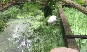 White Haired Dog Makes a Muddy Mess
