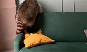 Rotund Raccoon Rolls Off Couch