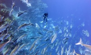 Giant Trevally School Encircles Diver