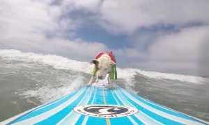 Pitbull Surfs the California Coast