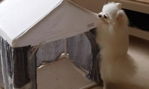 Pomeranian's Doggylicious Dance Moves