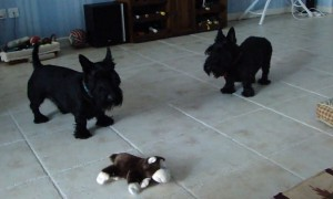 Skeptical Scottish Terriers confront new toy monkey