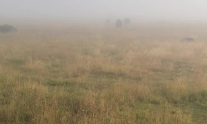 Bison Bellows in the Mist