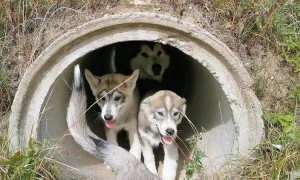 Pups in a Pipe