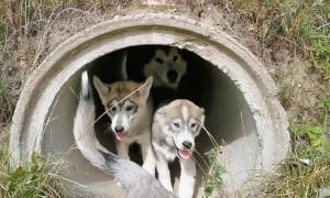 Pups in a Pipe