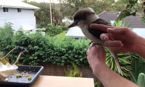 Friendly and Cute Kookaburra