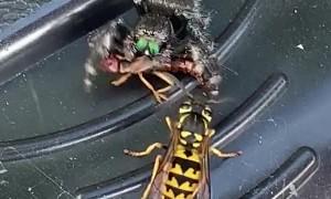 Jumping Spider Steals Snack