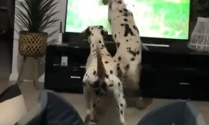 Dalmatians see dogs on TV, accidentally knock it over