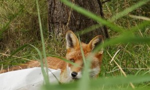 Fox Finds Phone and Flees