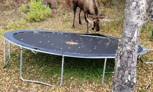 Moose Mangles the Trampoline