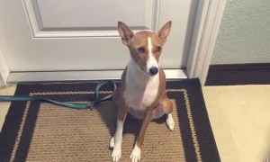 Talkative Basenji dog lets us know wha's on her mind